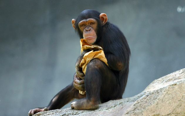 Estos simios fabrican sus propias herramientas para obtener el licor.