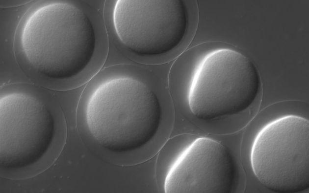 El video muestra la fecundación entre espermatozoides y óvulos de erizos.
