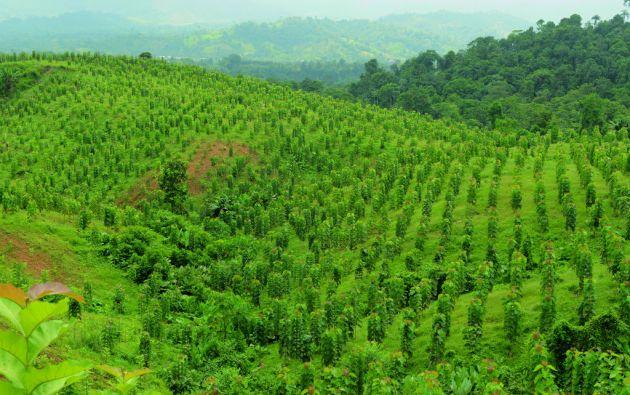 91% es la tasa de supervivencia de las plantaciones de teca en Ecuador que están dentro del Programa de Incentivos de Reforestación Comercial del MAGAP. Foto: César Mera