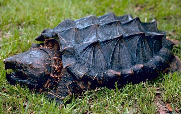Tortuga caimán. Foto: Wikimedia