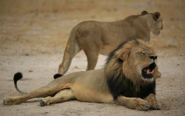 Cecil era reconocido por su melena negra. Foto: AFP