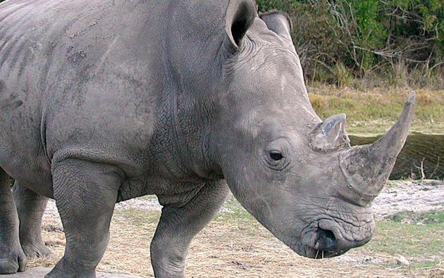 Los rinocerontes blancos son originarios de África Central y de África Oriental.