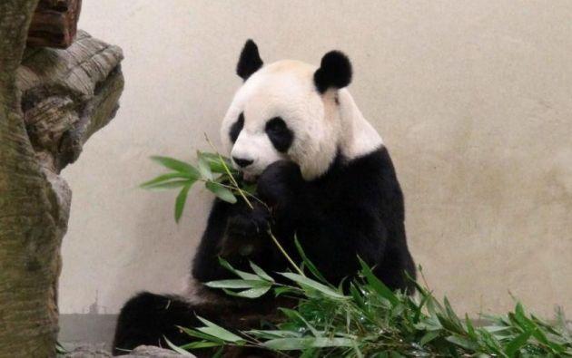 Según la prensa china y taiwanesa, las sospechas de embarazo daban a Yuan Yuan la posibilidad de mejor comida y una zona más cómoda de esparcimiento. Foto: Ecns.com
