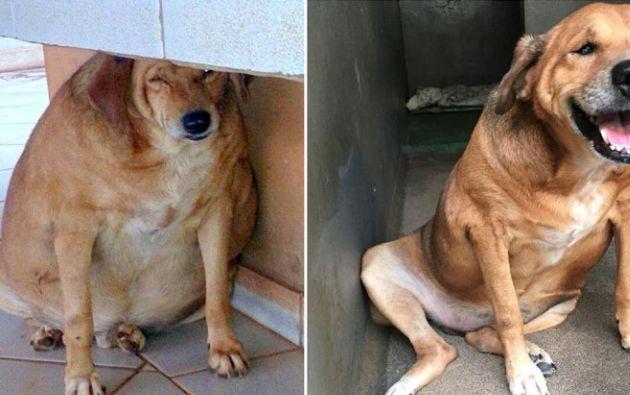 El perro llegó a pesar 36 kilos.