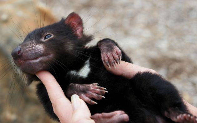 Estos marsupiales carnívoros habitan el noroeste de la isla de Tasmania.