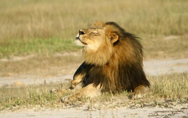 La muerte de Cecil (foto) desató una polémica internacional sobre los límites de la lucrativa caza deportiva. Foto: REUTERS.