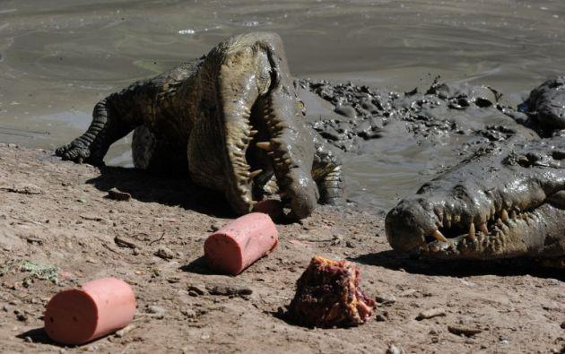Son 9.000 cocodrilos que se alimentan una vez al mes por falta de recursos en la finca. Foto: AFP.