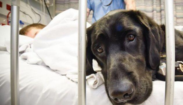 El labrador acompaña al niño en el hospital, donde asiste a sus tratamientos. Fuente: Internet