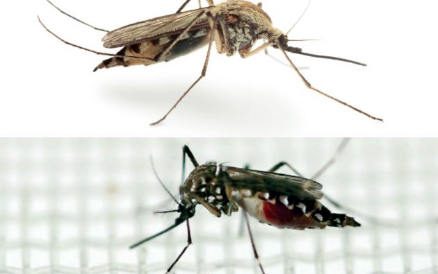 Anopheles (arriba) y Aedes Aegypti.