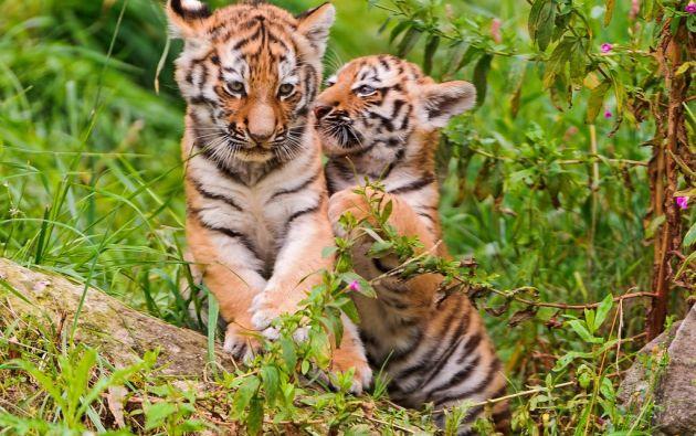 Foto: Foro Global del Tigre