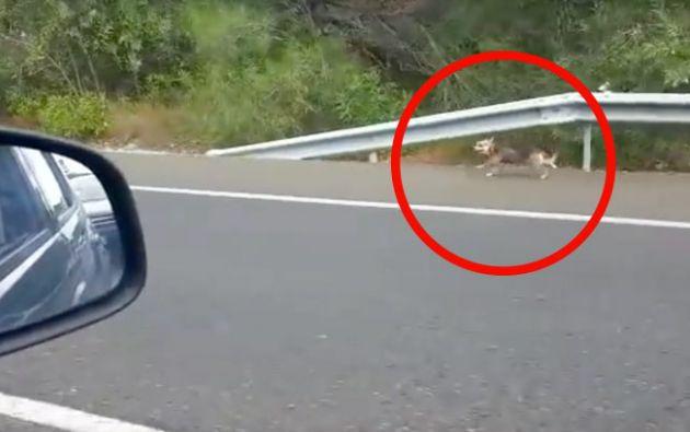 Crece rechazo a cruel persona. La acción de este cachorro que corrió varios kilómetros conmovió a todo YouTube.