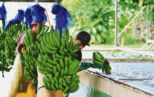 Los exportadores de banano esperan recuperar el 12% del mercado con la firma de acuerdo UE. Foto referencial: El Ciudadano.