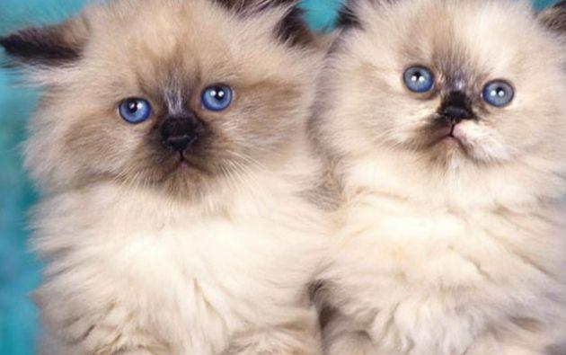 Investigadores alemanes han establecido que tanto gatos como gatas reaccionan de manera distinta a la llamada de los gatitos.