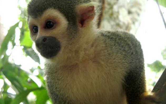 """El hombre fue sorprendido cuando intentaba vender un """"mono payaso"""", especie protegida. Foto referencial: Flickr."""