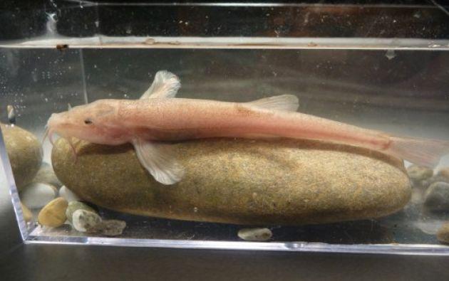 Un buzo volvió a la cueva en noviembre de 2015 y fue capaz de capturar 5 especímenes del primer pez cavernícola. Foto: AFP