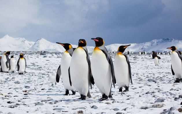 Dos terceras partes de las 18 especies de pingüinos del planeta, de las Galápagos hasta la Antártida, están en declive.   Foto referencial: Flickr.