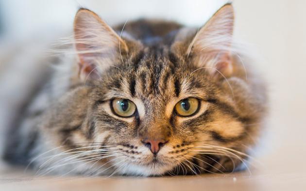 La teoría fundamental era que el gato había sido domesticado por los egipcios. | Foto referencial: Pexels.