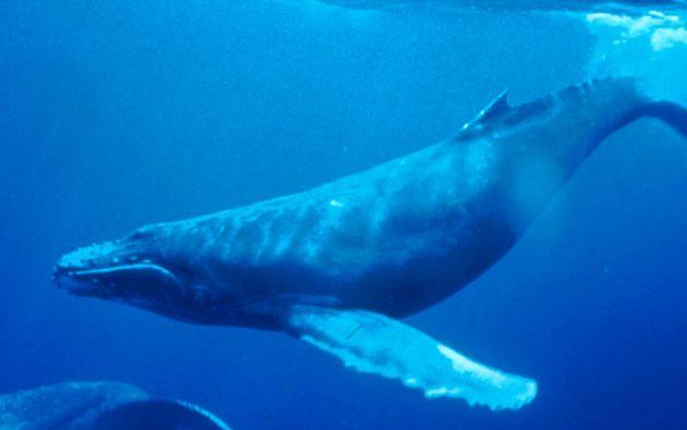 """El cetáceo corresponde a la especie """"Balaenoptera musculus"""", considerada como el mamífero más grande del mundo, y tiene aproximadamente 22 metros de largo, detallaron los científicos. Foto: referencial"""