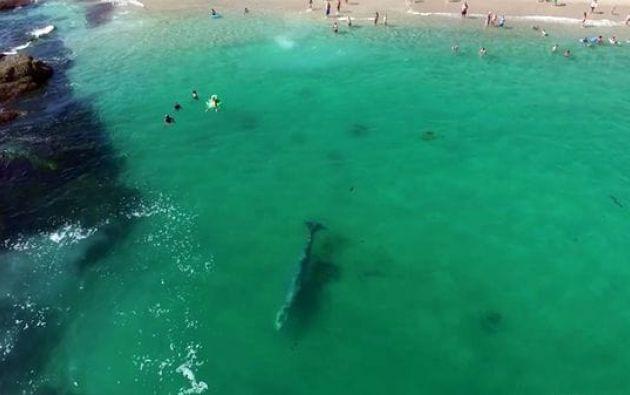 Una ballena gris que medía alrededor de 6 metros de longitud sorprendió a los bañistas en una playa de California.
