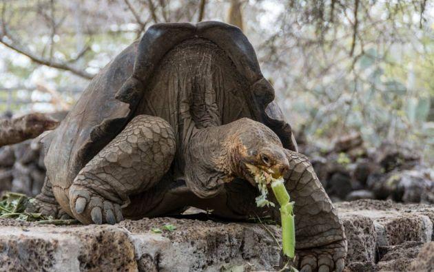 La tortuga de Floreana se extinguió, debido a los balleneros y otros navegantes que la usaron como fuente de alimentación para sus largas travesías. Foto: Parque Nacional Galápagos