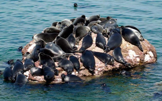 La foca del Baikal es la más pequeña del mundo y los orígenes de su aparición en este lago, formado hace 25 millones de años. Foto referencial