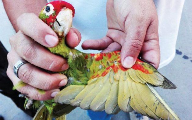 El Perico Caretirrojo (Aratinga rythrogenys), consta entre las especies amenazadas del Libro Rojo de las Aves del Ecuador. Foto: Min. Ambiente