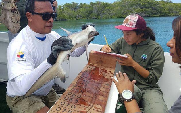 Los tiburones martillo están en la Lista Roja de la Unión Internacional para la Conservación de la Naturaleza (UICN), en la categoría de peligro de extinción. Foto: Ministerio Ambiente