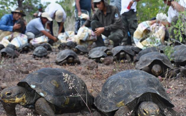 Antes de ser devueltas a su isla, las tortugas pasaron por exámenes de salud. Foto: El Ciudadano