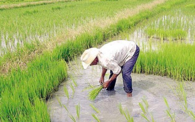 La nueva propuesta consensuada plantea para el arroz y maíz un mecanismo que consiste en una franja de precios.Foto: El Ciudadano