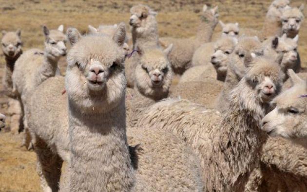 Perú es el primer productor de lana de alpaca del mundo, al albergar al 87% de la población global. Foto: AFP