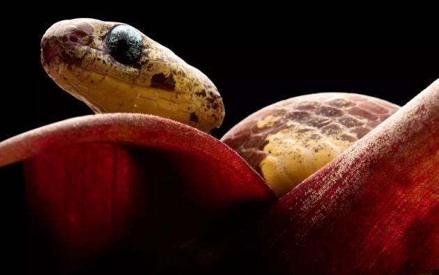 """Dichos reptiles pertenecen al grupo denominado """"dipsas"""", un género de culebras no venenosas. Foto: Alejandro Arteaga."""