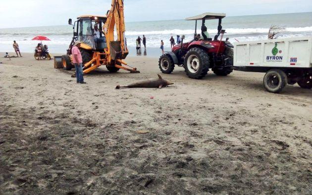 TONSUPA, Ecuador.- Una fotografía muestra el cuerpo del cetáceo sobre la arena, rodeado de un tractor y una retroexcavadora. Foto: Ministerio del Ambiente.