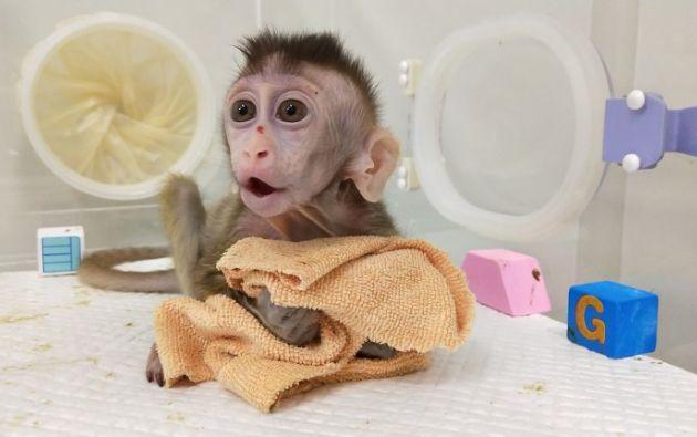 Un macaco clonado, nacido el 28 de septiembre de 2018, en una institución de investigación en Shanghai. Foto: AFP