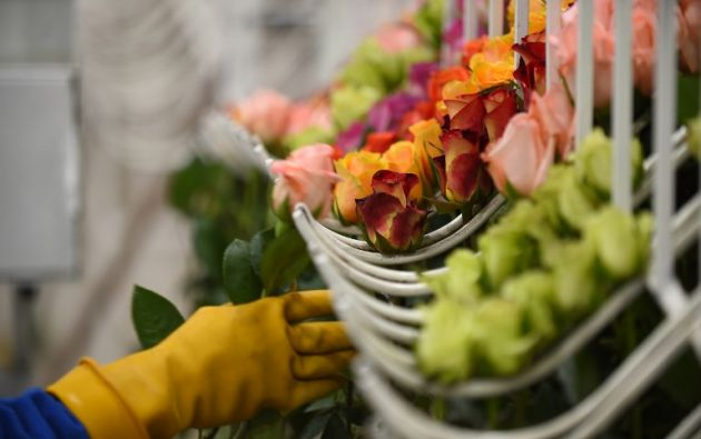 En Estados Unidos una rosa ecuatoriana puede costar 2 dólares y en Europa hasta 5. Foto: AFP