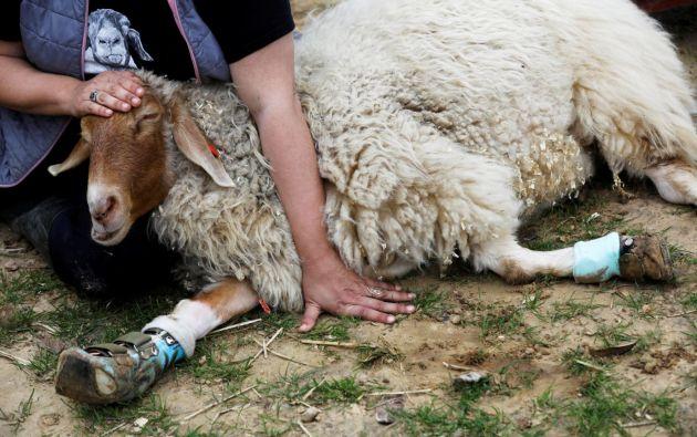 Miri fue encontrada tendida en una zanja con una pierna rota. Después del rescate de Miri, su pierna fue amputada. Fotos: Reuters.