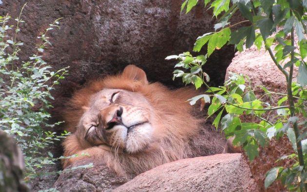 National Geographic afirmó que el león desaparecerá del continente africano en 2050. Foto referencial: Pixabay