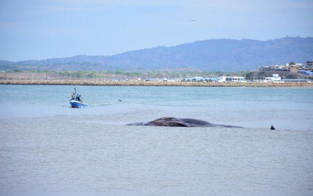 En 2019 es el segundo caso en que se da la presencia de una ballena azul en la orilla de las costas peninsulares. Foto: referencial