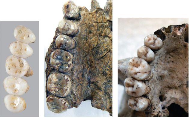 La imagen compara los dientes fósiles de las especies recién descubiertas Homo Luzonesis y la del Hogar Erectus y el Homo Sapiens. Foto: AFP