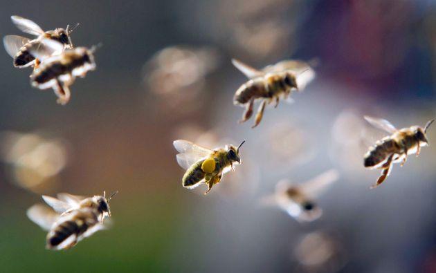 Más del 75% de los cultivos que alimentan el mundo dependen de alguna forma de la polinización de insectos como las abejas.