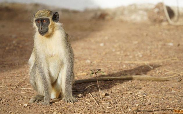 Los monos verdes poseen llamadas de alerta para avisar de la presencia de depredadores como leopardos o serpientes
