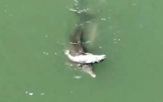 """El video está acompañado de la siguiente frase: """"La madre delfín no está lista para soltar su bebé muerto"""". Foto: captura de video"""