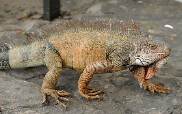 Esta especie llegó a este estado del sureste estadounidense en 1964 como resultado del comercio de animales. Foto referencial: archivo