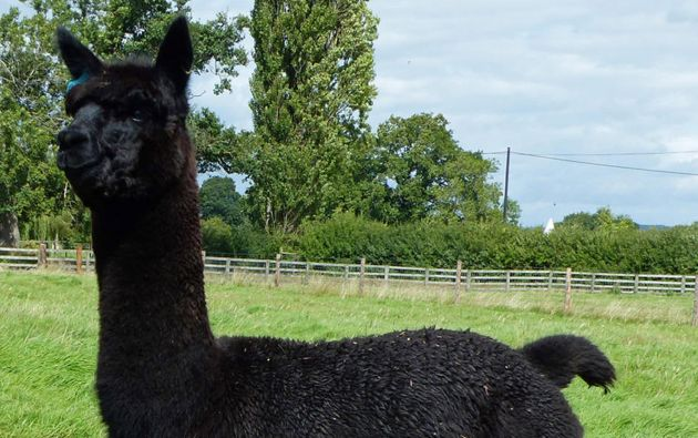 La alpaca llamada 'Geronimo' será sacrificada tras haber dado positivo en la prueba de tuberculosis bovina.