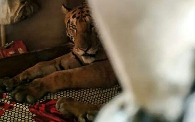 El tigre de bengala, pasando la noche de una aldea, es apenas una muestra de la situación de centenares de animales que sufren en India las consecuencias de las lluvias. Fotos: AFP.