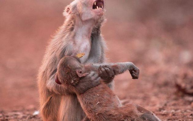 La imagen de un mono abrazando a su cría, aparentemente muerta, ha sido una de las más virales.