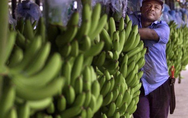 Las ganancias del 85% de la producción mundial del banano podrían reducirse en un alto nivel para el 2050. Foto: AFP.