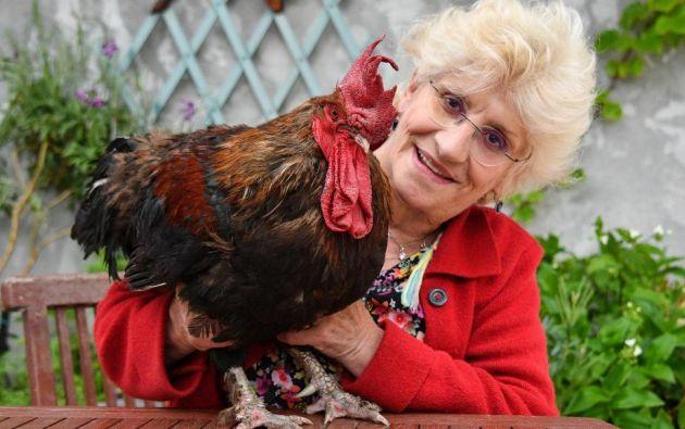 """La pareja de vecinos exigían que cesara la """"molestia sonoroa"""" y, si no ocurría, que la propietaria del gallo pagara una sanción de 150 euros al día. Foto: AFP."""