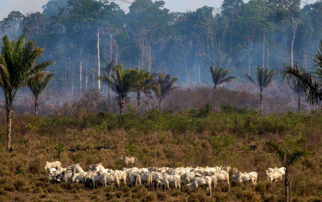 Los incendios en la Amazonía brasileña son en su mayoría provocados, en parte para despejar terreno para la cría de ganado. Foto: AFP.
