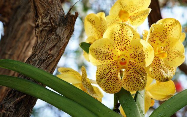 """En 2013, Ecuador se declaró """"País de las Orquídeas"""" con más de 4.200 especiales de la emblemática planta. Foto referencial: AFP."""