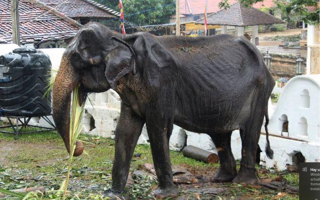 El desfile habría obligado a la elefanta a caminar varios kilómetros llevando un pesado atuendo. Foto: AFP.